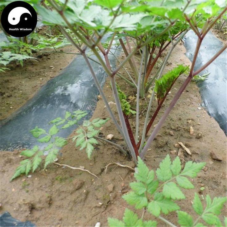 Buy Real Angelica Sinensis Seeds 100pcs Plant Dong Quai For Herbal Dan – health wisdom