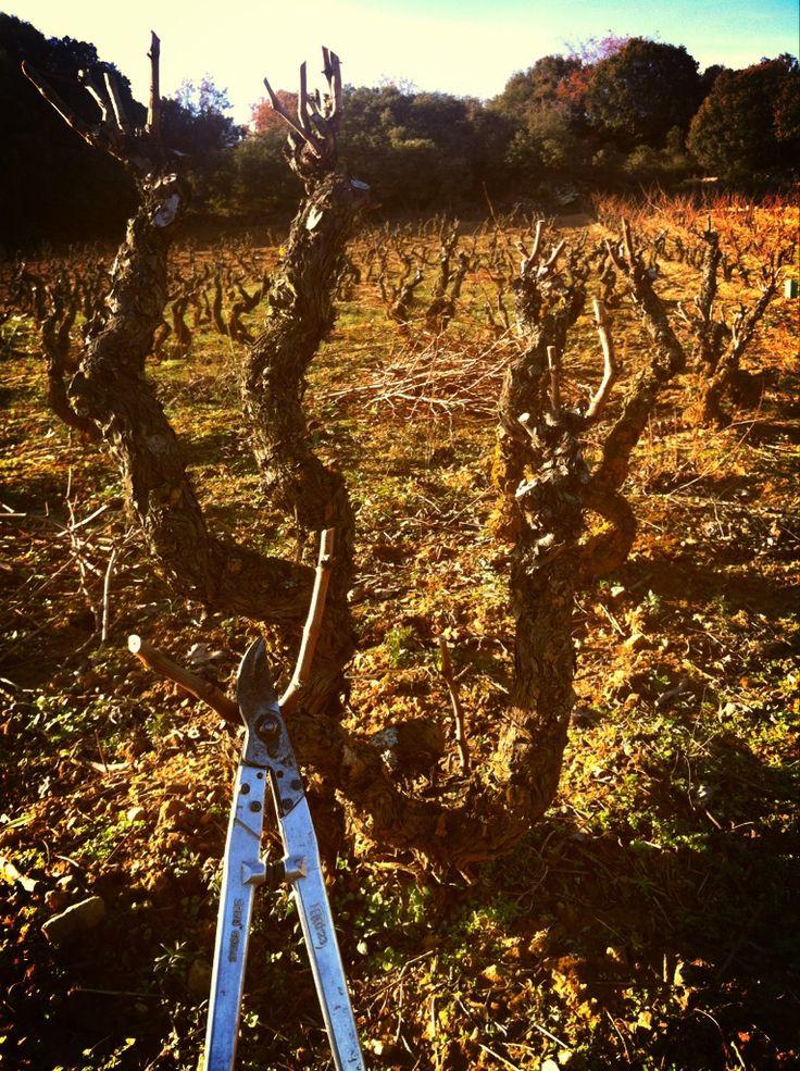 Podando cepas de una viña vieja. #Lanciego #Rioja #Wine #OrganicWine