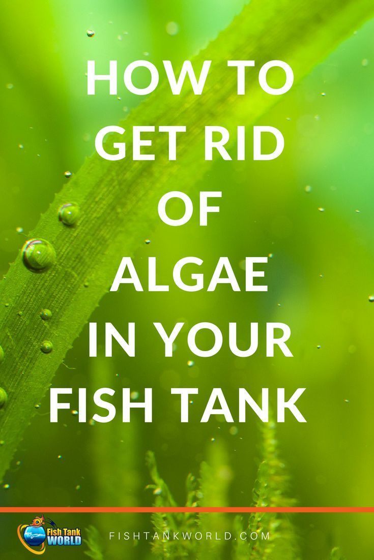 How To Get Rid Of Algae In A Fish Tank Fish Tank World Fish Tank Fish Tank Cleaning Betta Fish Tank