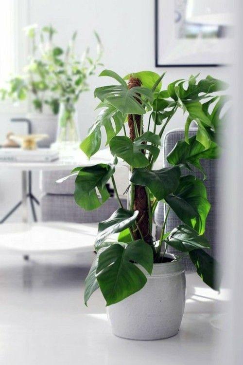 131 besten zimmerpflanzen bilder auf pinterest zimmerpflanzen topfpflanzen und blumen - Zimmerpflanzen dunkel ...