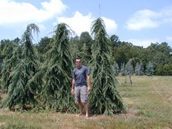 Weeping deodar cedar small to mid size trees pinterest for Small sized evergreen trees