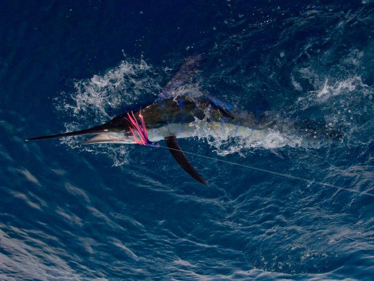Fishfisheme.com-Marlin Fishing Puerto Rico