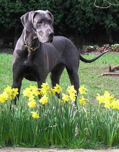 Blue Great Dane - I think this is my favorite color. Hope to one day own one of these lovely beasts.