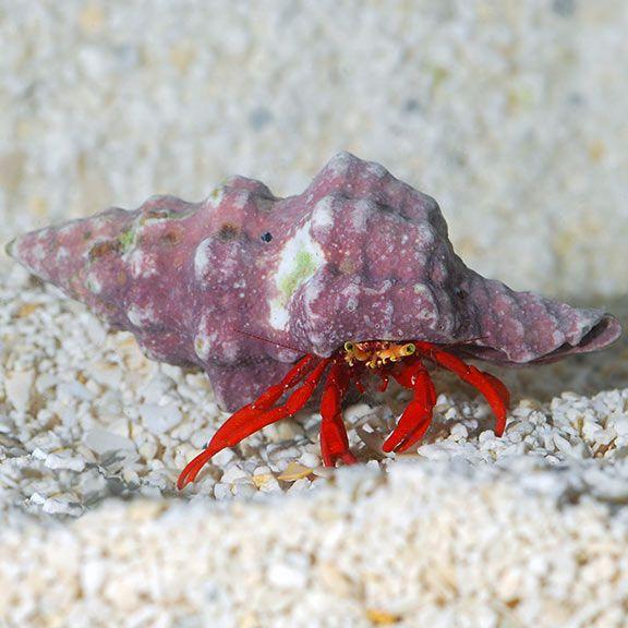 Scarlet Reef Hermit Crab Build Your Own Kit Saltwater Aquarium Corals For Marine Reef Aquariums Hermit Crab Crab Reef Aquarium