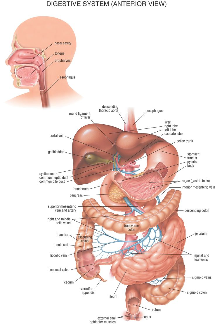 43 best biology human body digestive system images on