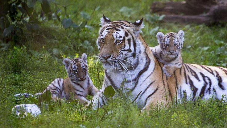 Korkeasaaren tiikerinpennut kiusaavat jo emoa – suloinen video paljastaa vintiöiden vauhdikkuuden