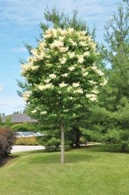 one of my favs....have to have 3-4 of these in my garden ....Ivory Silk Japanese Lilac Tree – Sheridan Nurseries