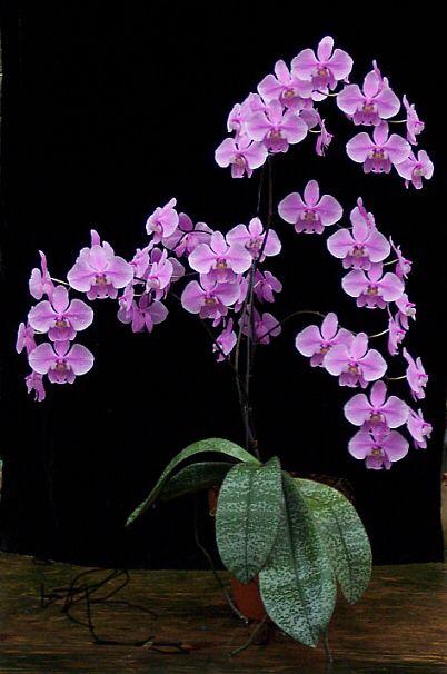 Moth-orchid: Phalaenopsis schilleriana var. Purpurea