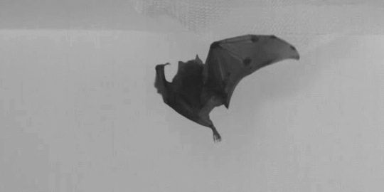 """skunkbear: """" A new study (published in PLOS Biology) investigated how bats make sharp turns in the air, particularly when they have to grab the ceiling. It turns out aerodynamics have very little to..."""