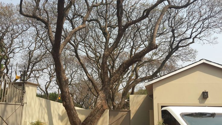 Bee removal in Johannesburg , removed bees in a tree at smits road, Dunkeld