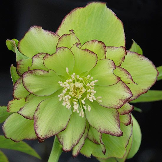 Just when you think winter is never going to end, the big double flowers of 'Irish Ruffles' hellebore burst into bloom. The flowers of this striking new variety have bright, lime green petals delicately edged with red. These tough plants are drought- and deer-resistant. 'Irish Ruffles' also will tolerate a wide range of soil types. Name: Helleborus 'Irish Ruffles' Growing Conditions: Shade, Partial shade Size: 18–20 inches tall, 20–24 inches wide Zones: 4–8 Source: Great Garden Plants