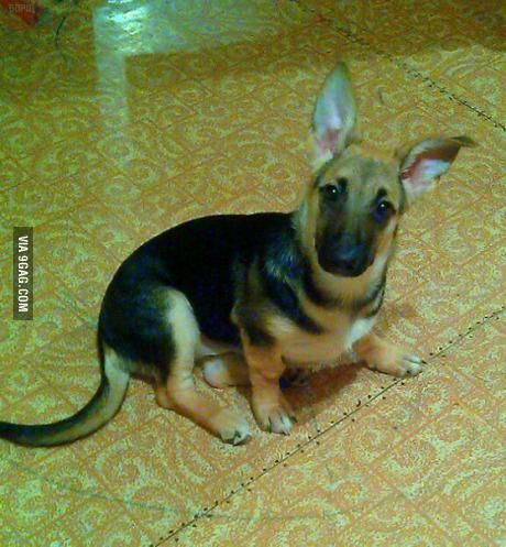 4.5 months ago they sold me purebred german shepherd, I'm starting to have my doubts...