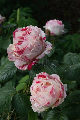 ~Floribunda Rose: Rosa 'Scentimental' (U.S., before 1996
