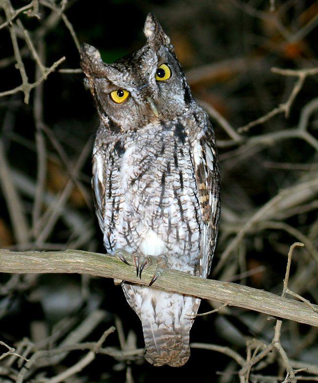 Western Screech Owl | Birds of the Sierra Foothills ...