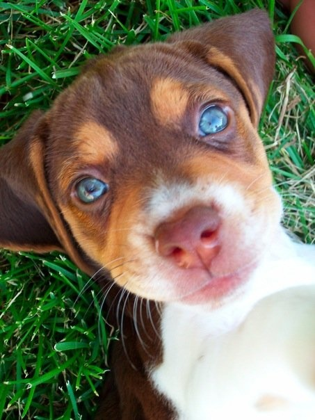 Lulu. :): Baby Blue, Adorable Puppys, Pretty Eye, Dogs Lulu, Cutest Dogs, Puppys Dogs Eye, Beagles Puppys Blue Eye, Blue Eyes, Adorable Animal