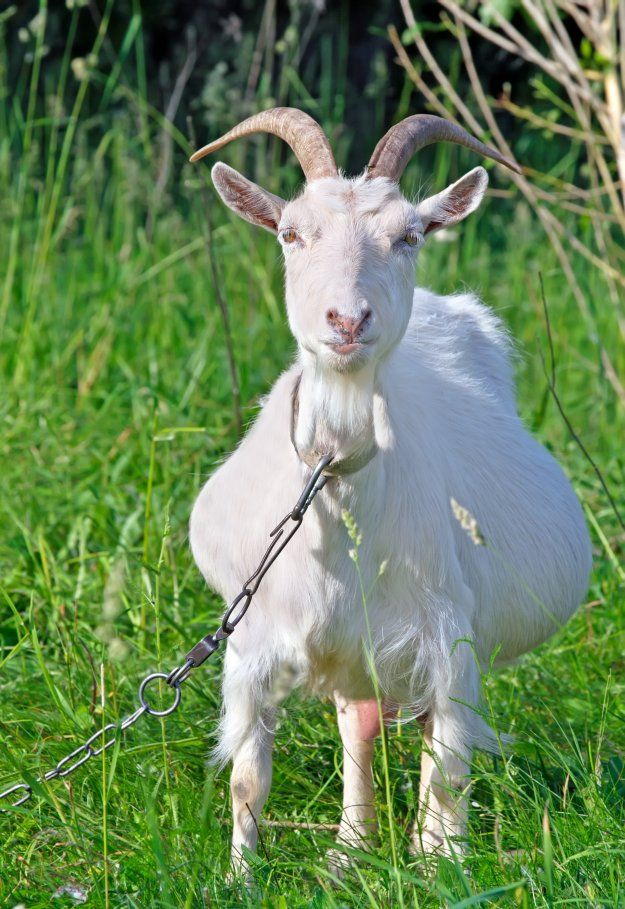 Goat Gestation and Kidding [Chapter 7] Raising Goats | Homestead Handbook