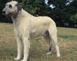 Irish Wolfhound - When full grown, a male Irish Wolfhound looms over other dogs, standing at least 32 inches tall and weighing 120 pounds. Females are a minimum of 30 inches and 105 pounds.