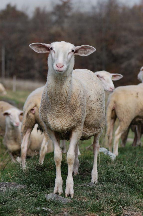 Sheep / Brebis