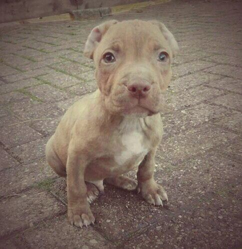 Red nose Pitbull puppy Pablo