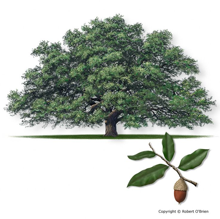 Live Oak  Quercus virginiana   Secondary Names: Coast Live Oak