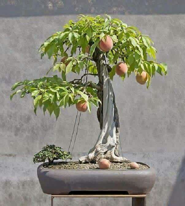 what is passion fruit bonsai fruit tree