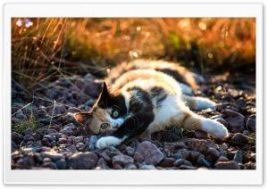 Cute Calico Kitten HD Wide Wallpaper for Widescreen