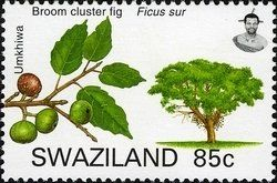 Stamp: Broom Cluster Fig (Ficus sur.) (Swaziland) (Trees of Swaziland) Mi:SZ 778,Yt:SZ 758,WAD:SZ002.07