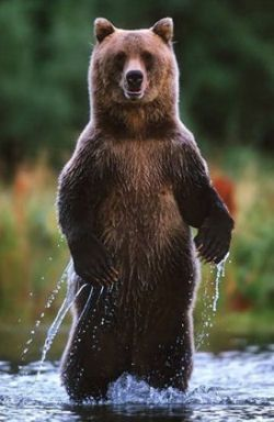 Google Image Result for http://www.alaska-bear-viewing.net/image_support/images/standing_bear2_small.jpg