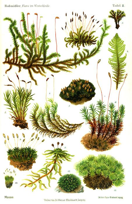 I want to fill the study with prints like this:  moss, standing pine ... some of my favorite terrarium features