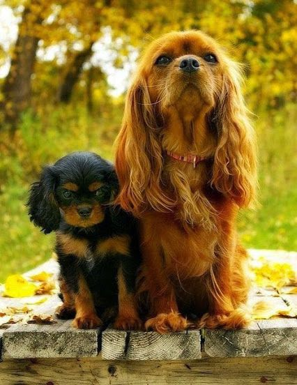 Ruby and Black and Tan Cavaliers