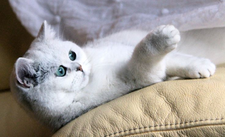 Pin by Izzy Courtemanche on •cats• British shorthair