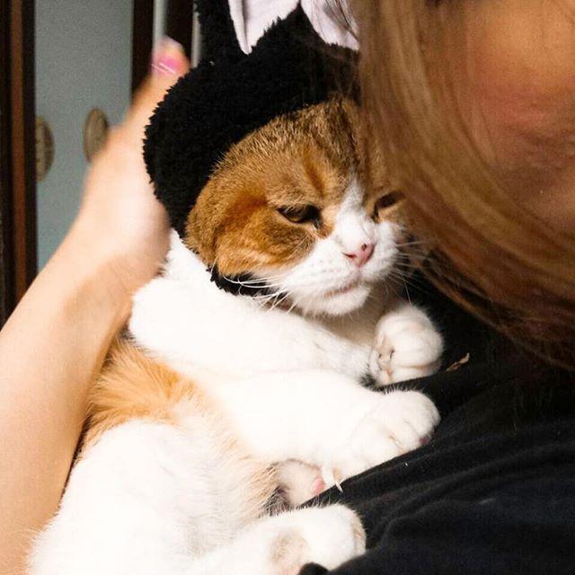 いやいやだっこ、着せ替え猫🐰🐱 #ねこ#ねこ部#ふわ#スコちゃん#ふてニャン#猫#スコティッシュフォールド#スコ#愛猫#可愛い#美猫#親バカ #cat#fuwa#scotishfold#cute#love#lovely#ねこがいる生活#ネコ#ふわふわ#フワ#フワフワ#ねこうさぎちゃん #ねこうさぎ#猫うさぎ#かぶりもの#着ぐるみ#着せ替え人形#ねこずきんちゃん