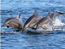 Dolpine Watching  Kalpitiya, that affords the opportunity to view large pods of Dolphins often numbers running to hundreds, is becoming a celebrated location in Sri Lanka of the lovers of Spinner Dolphins
