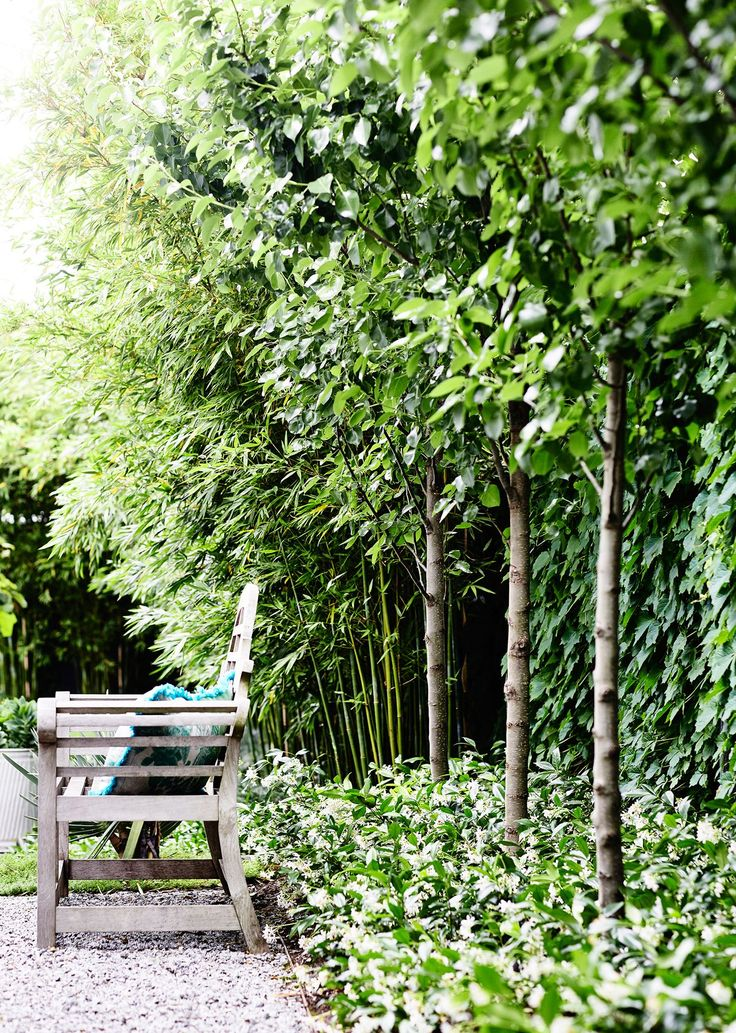 The fence is draped in Boston ivy. Planted 1.9m apart, the pleached *Pyrus* 'Chanticleer' are underplanted with star jasmine.