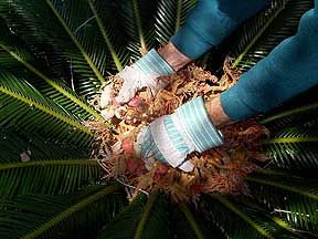 Harvesting seeds from Sago Palm