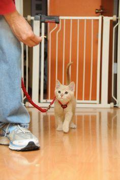 Kitten Socialization: Training a Kitten to Wear a Harness.