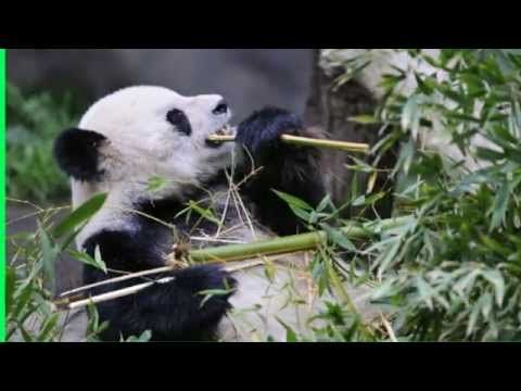Where do Pandas live   giant   bear   panda habitat   where does a panda live