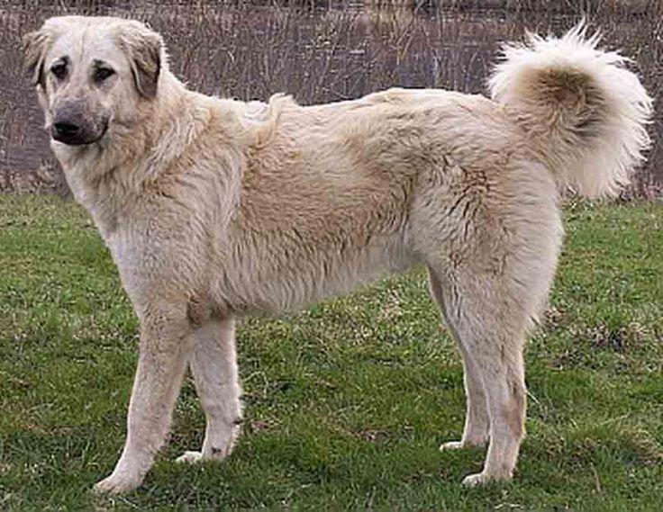 Акбаш–описание породы собак, происхождение, темперамент. Фотографии собак породы Акбаш.