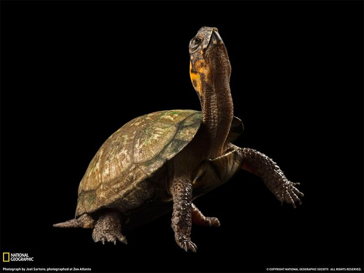 Tartaruga di palude Fotografia di Joel Sartore; photographed at Zoo Atlanta