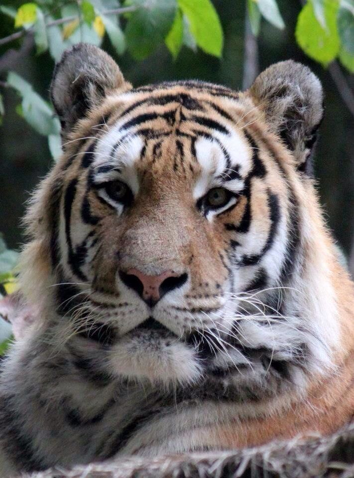 We now have 5 Siberian Tigers!