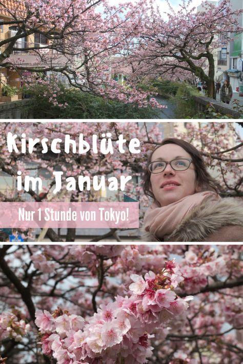 Man muss nicht unbedingt im März nach Japan fliegen, um die Kirschblüte zu sehen. Es reicht auch schon im Januar nach Atami zu fahren! #Hanami #Kirschblüte #Japan #Tokyo #Sakura