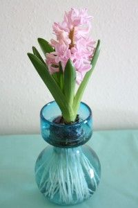 Forcing bulbs for christmas gifts or just to keep for yourself! Buy cheap vases at the thrift shop to save even more.