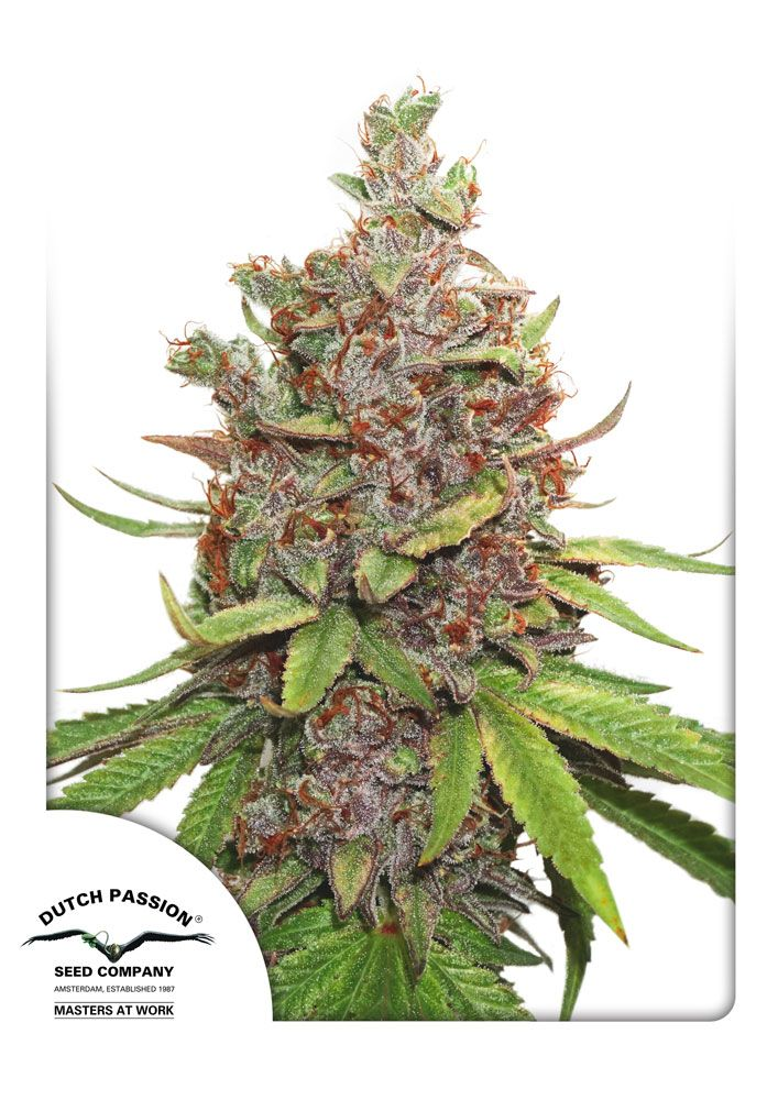 This is a new product which will be available from 1 January 2017  Auto Glueberry OG is the autoflowering version of the hard hitting, resin dripping photoperiod Glueberry OG. To turn Glueberry OG into an autoflower, we crossed (Gorrila Glue x OG) with the original Auto Blueberry to ensure the same taste and effect as her photoperiod sister.  With subtle Diesel hints and fruity Blueberry tones, Auto Glueberry OG can be considered a sweet tasting strain with both Asian and American roots.