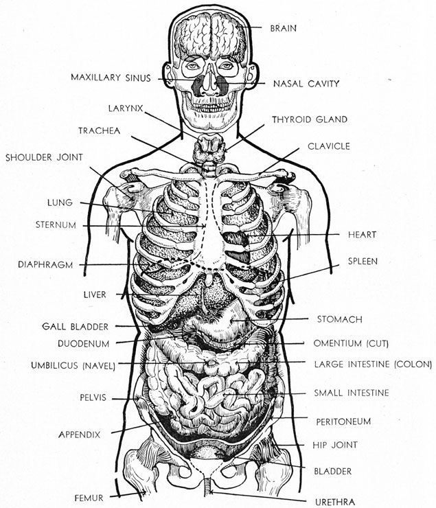 diagram of the head and torso showing relationship of the organs  : torso diagram - findchart.co