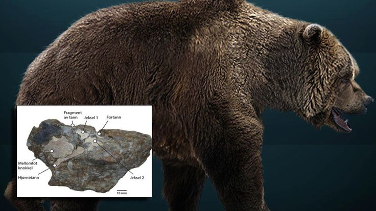 HULEBJØRN:  Undersøkelser viser at steinen som ble funnet i Tromsø inneholder sju tenner og flere beinrester fra en hulebjørn. innfelt foto: Jørn H. Hurum, Illustrasjon:  Wikimedia Commons