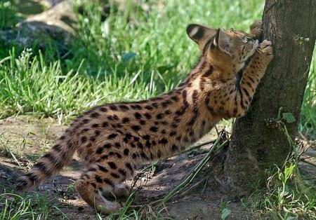Сервал — это хищное животное семейства кошачьих. Размеры она имеет средние — от пятидесяти девяти до девяноста сантиметров в длину. Хвост кошки на удивление короткий — от двадцати до сорока пяти сантиметров. Зато лапы этой кошки являются самыми длинными у всего семейства кошачьих.