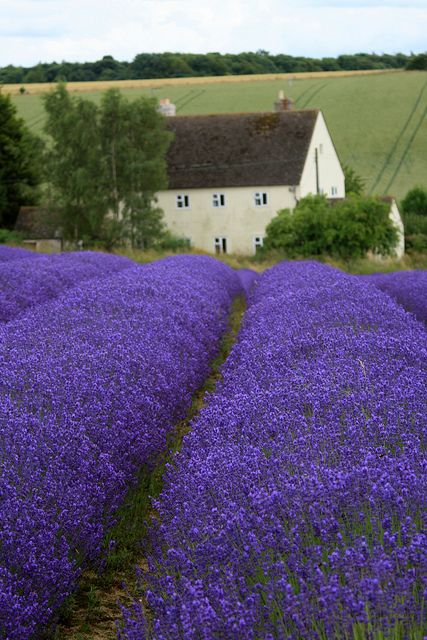 English lavender fields