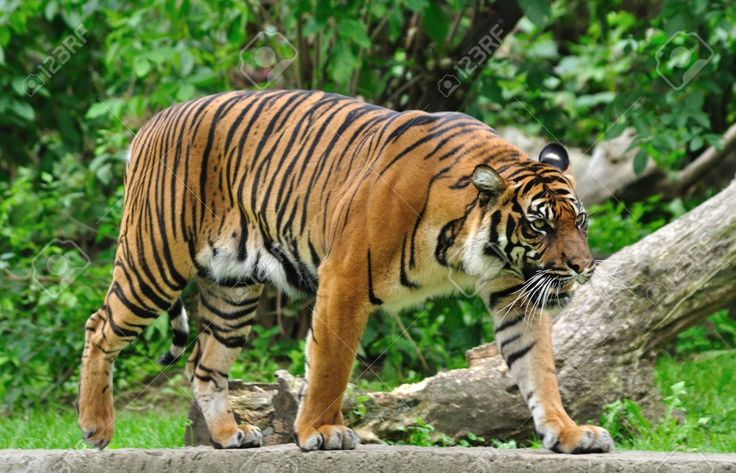 「Tiger」の画像検索結果