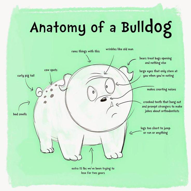 English bulldog holistic health, How long do English bulldog's live? Helping your Bulldog live a long time. Lifespan of a bulldog.