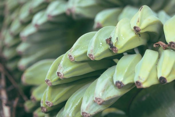 unripe bananas in the jungle close up in selective focus